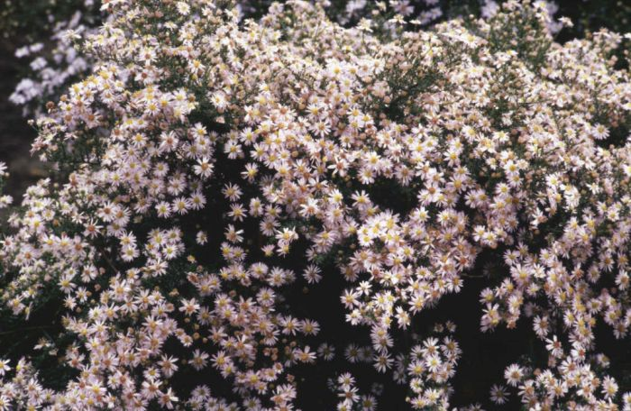 heath aster 'Pink Cloud'