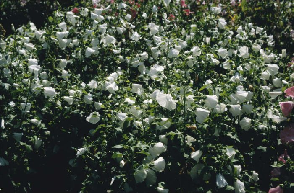 tree mallow 'White Beauty'