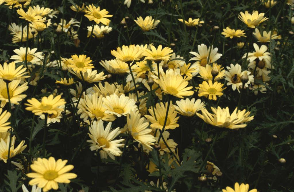 marguerite 'Jamaica Primrose'