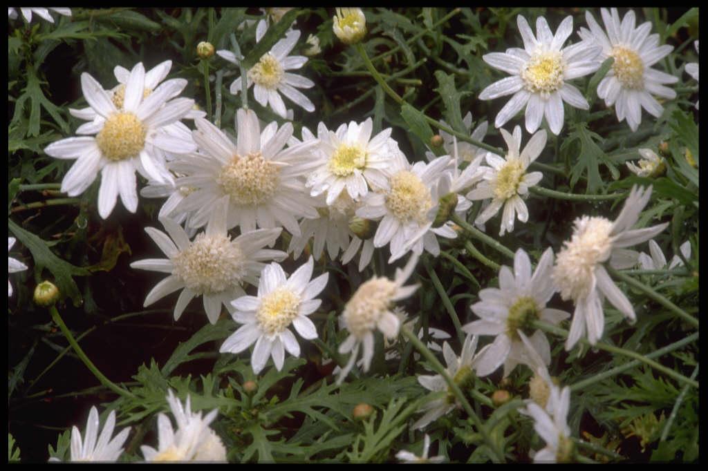 marguerite 'Qinta White'