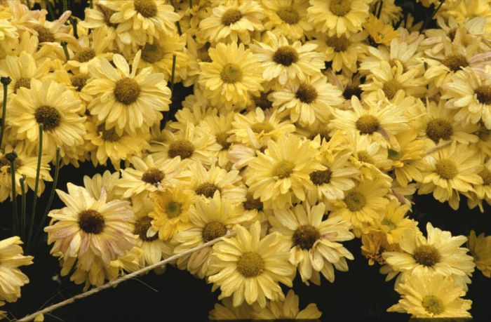 chrysanthemum 'Gold Enbee Wedding'