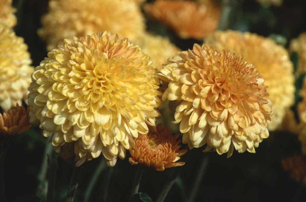 chrysanthemum 'Apricot Margaret'