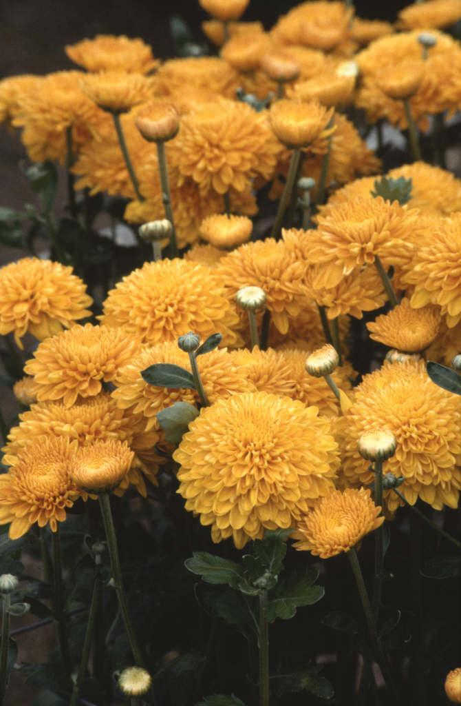 chrysanthemum 'Bronze Pennine Wine'