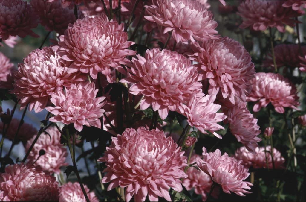 <i>Chrysanthemum</i> 'Pink Gin' (9c)