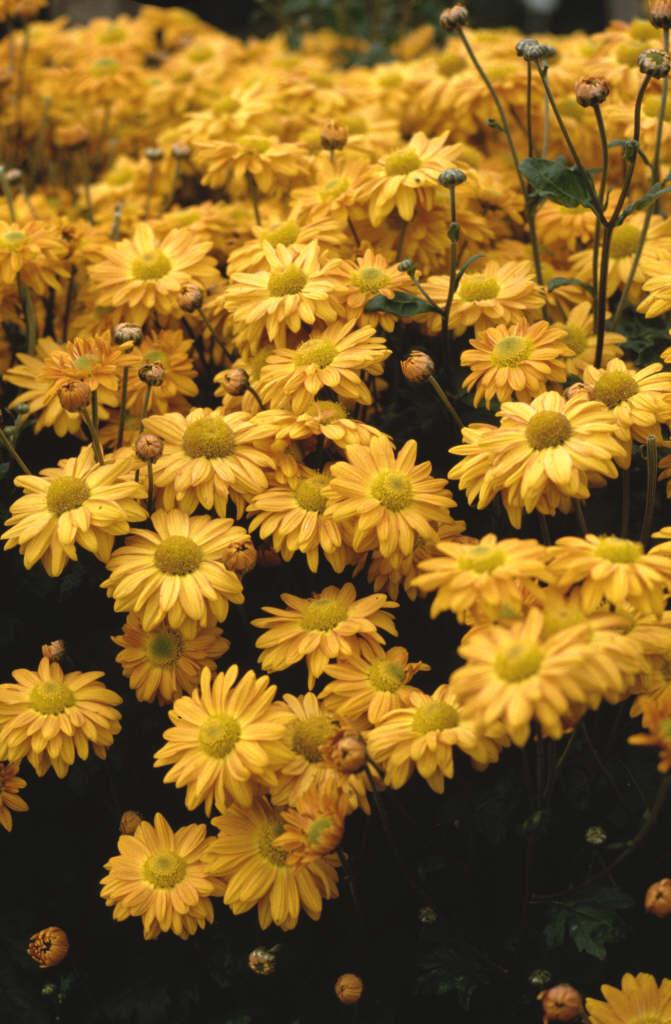 chrysanthemum 'Pennine Jade'