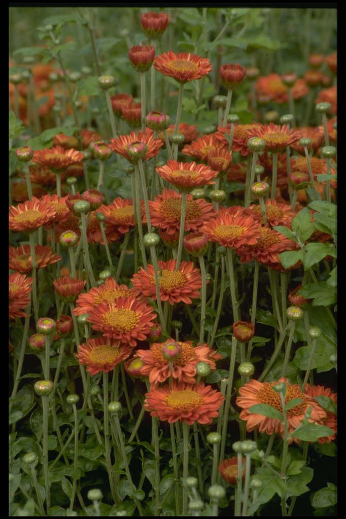 chrysanthemum 'Pennine Jude'