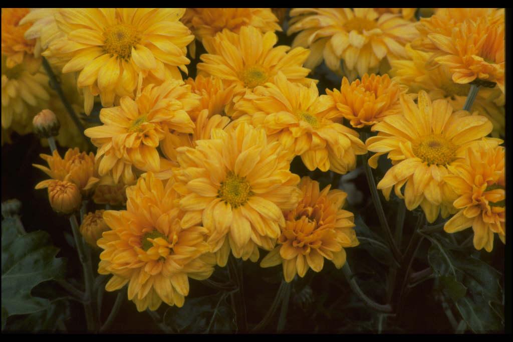chrysanthemum 'Wessex Tang'