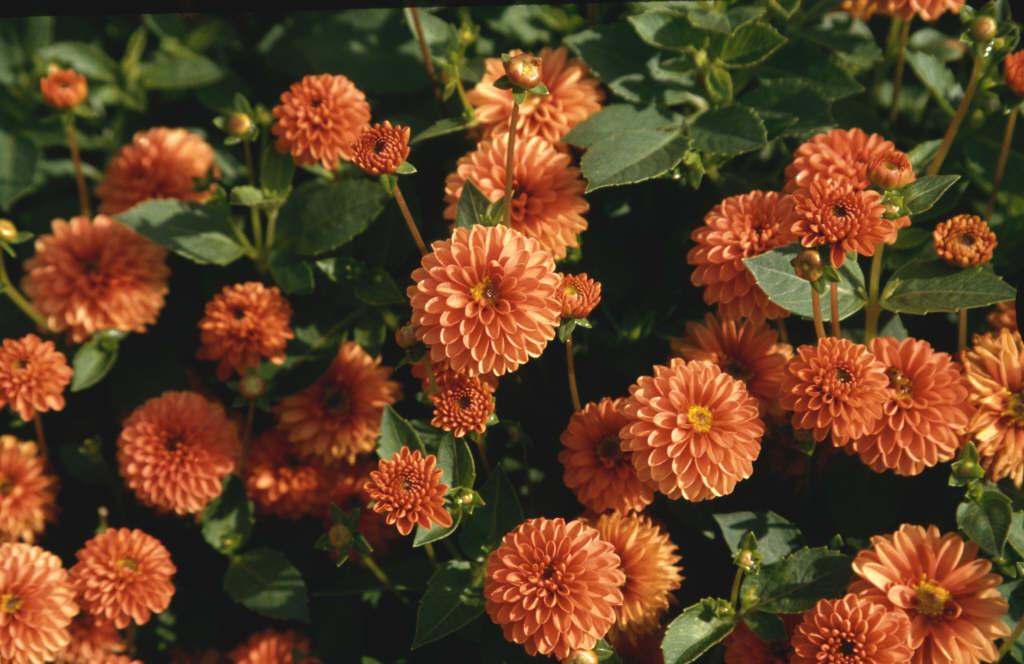 dahlia 'Harvest Tiny Tot'