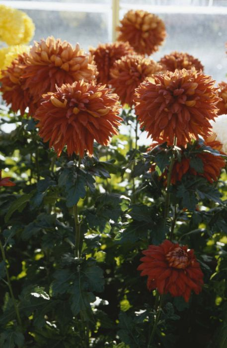chrysanthemum 'Red Resilient'