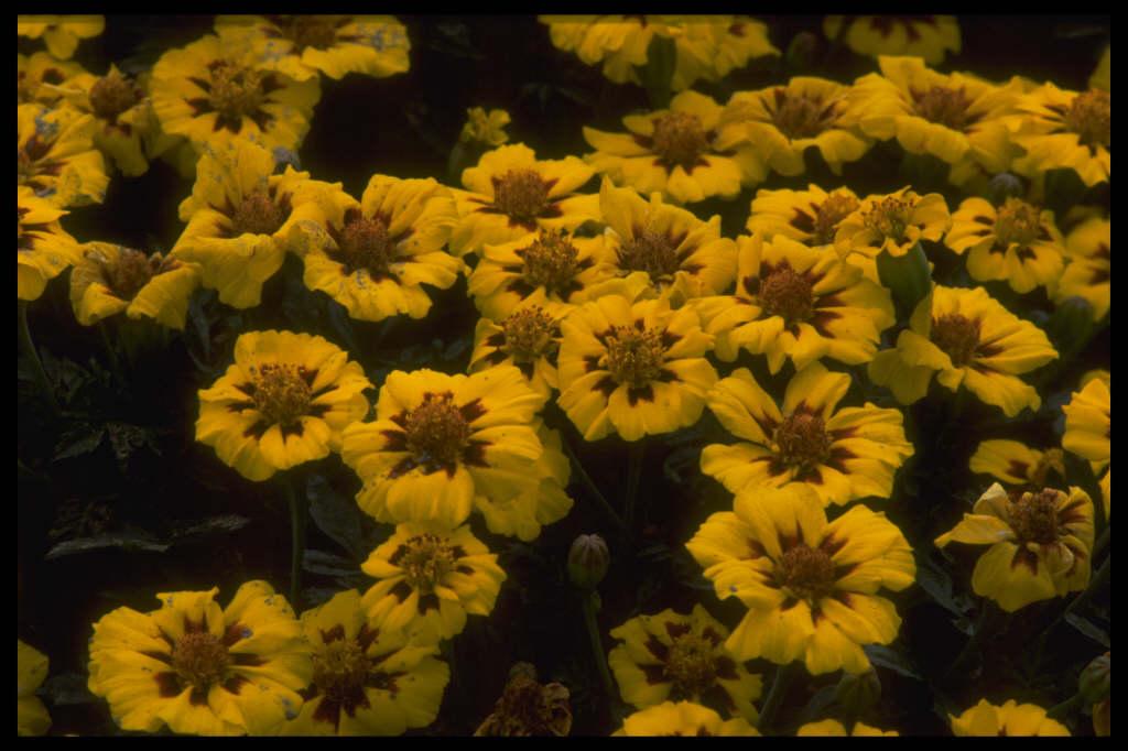 French marigold 'Dainty Marietta'