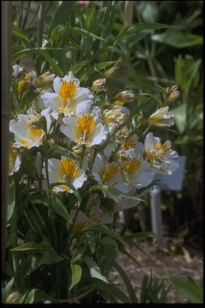 Peruvian lily 'Apollo'