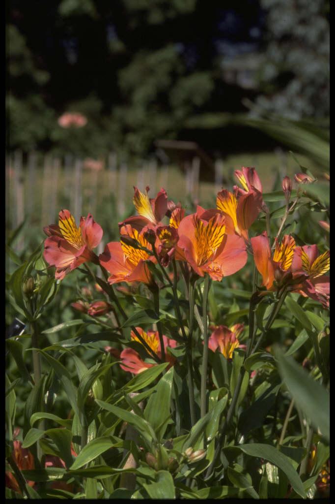 Peruvian lily 'Coronet'