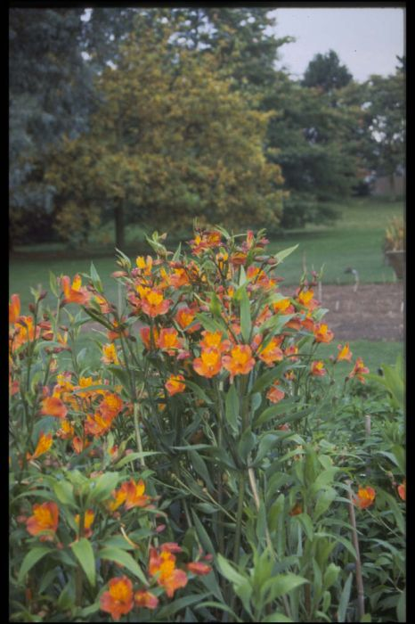 Peruvian lily 'Orange Gem'