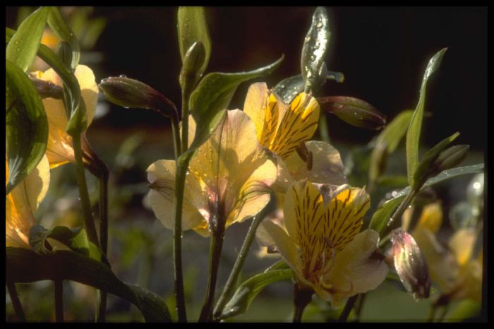 Peruvian lily 'Yellow Friendship'