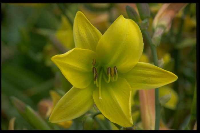 daylily 'Lemon Bells'