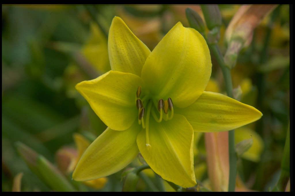 daylily 'Lemon Bells'