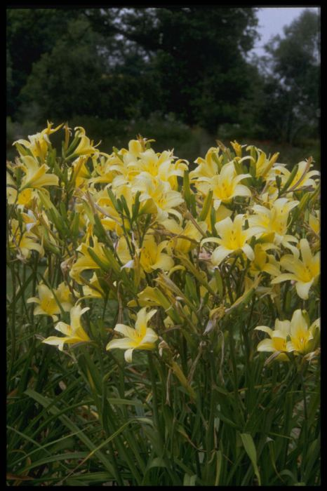 daylily 'Tetrina's Daughter'
