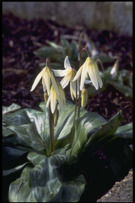 fawn lily