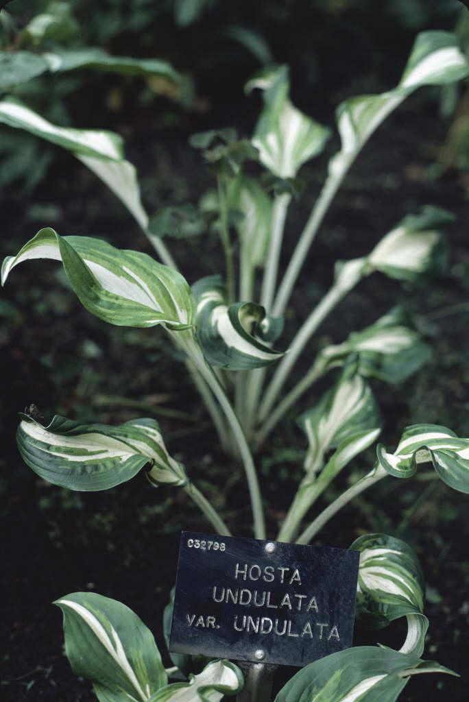 wavy plantain lily