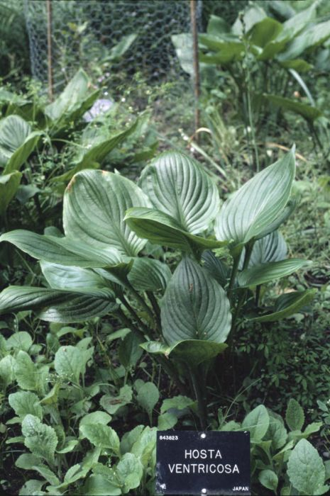 blue plantain lily