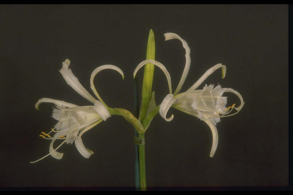 <i>Hymenocallis</i> × <i>macrostephana</i>