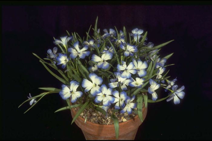 Chilean blue crocus 'Leichtlinii'