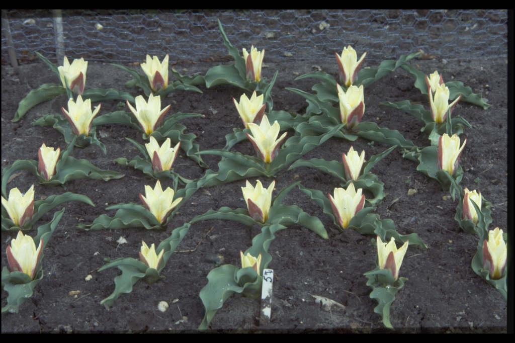 tulip 'Ancilla'