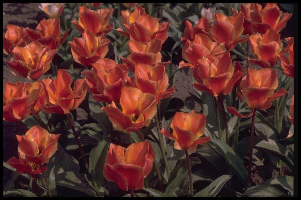 tulip 'Corsage'