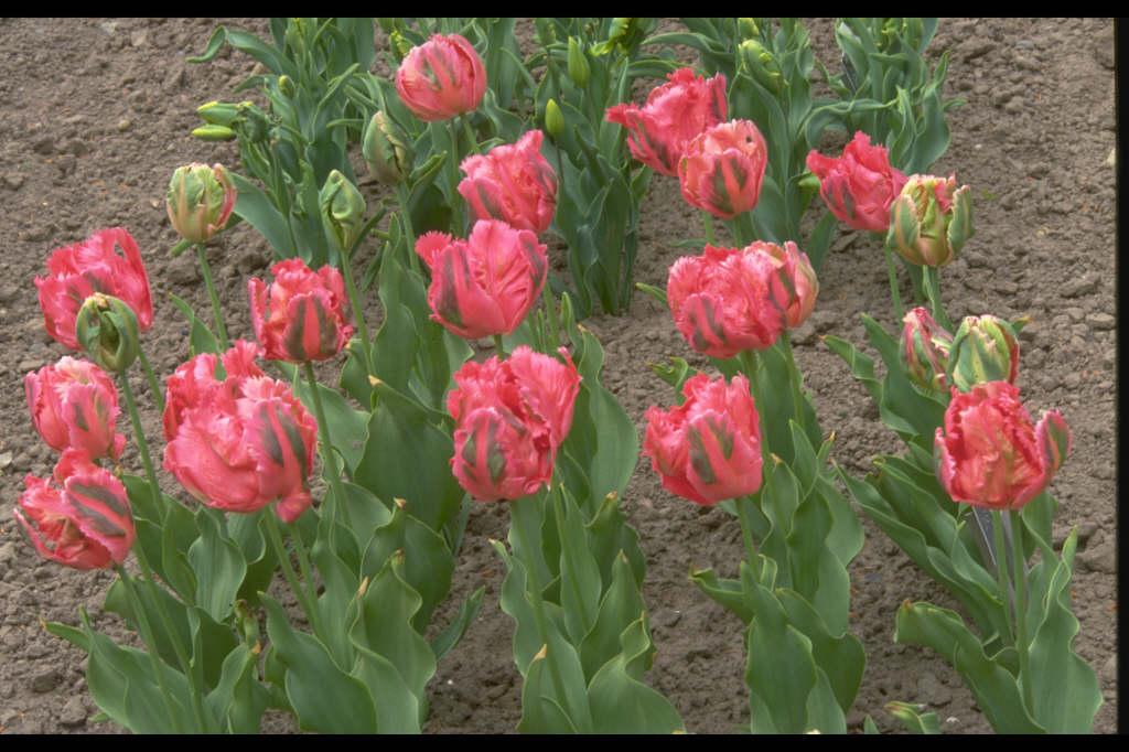 tulip 'Fantasy'