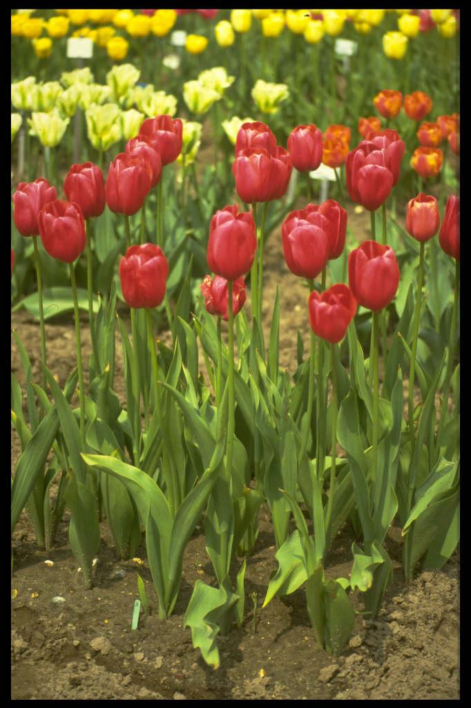 tulip 'Halcro'