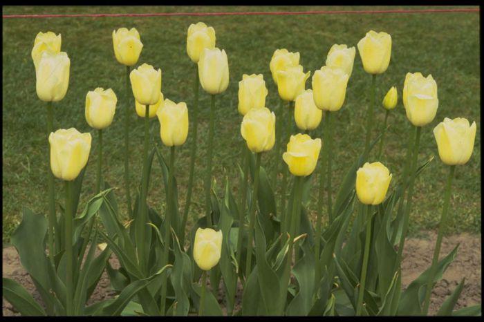 tulip 'Maureen'