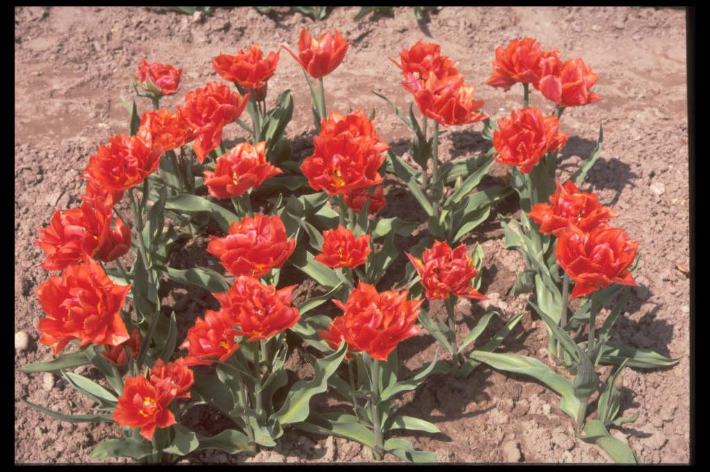 tulip 'Oranje Nassau'