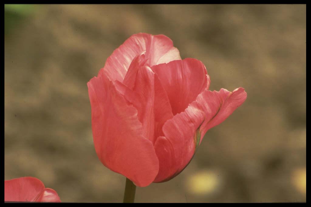 tulip 'Queen of Bartigons'