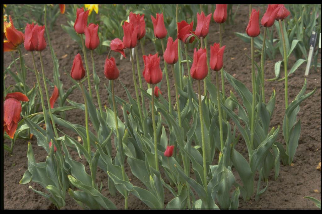 tulip 'Red Shine'