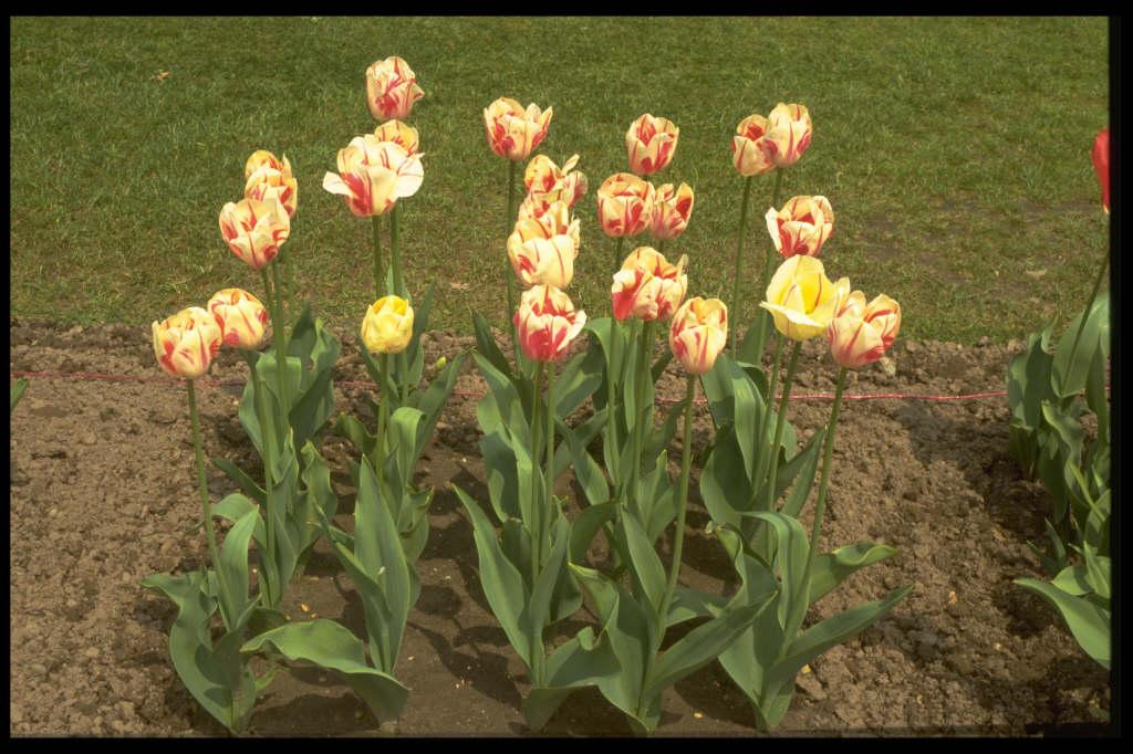 tulip 'Sorbet'