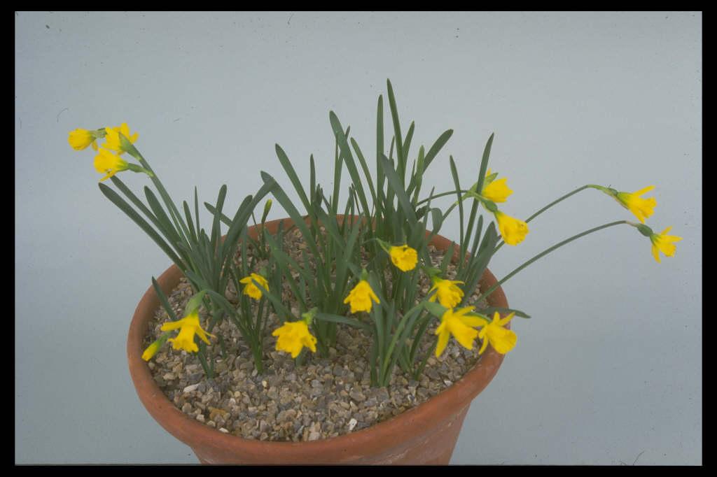 <i>Narcissus asturiensis</i> (13)