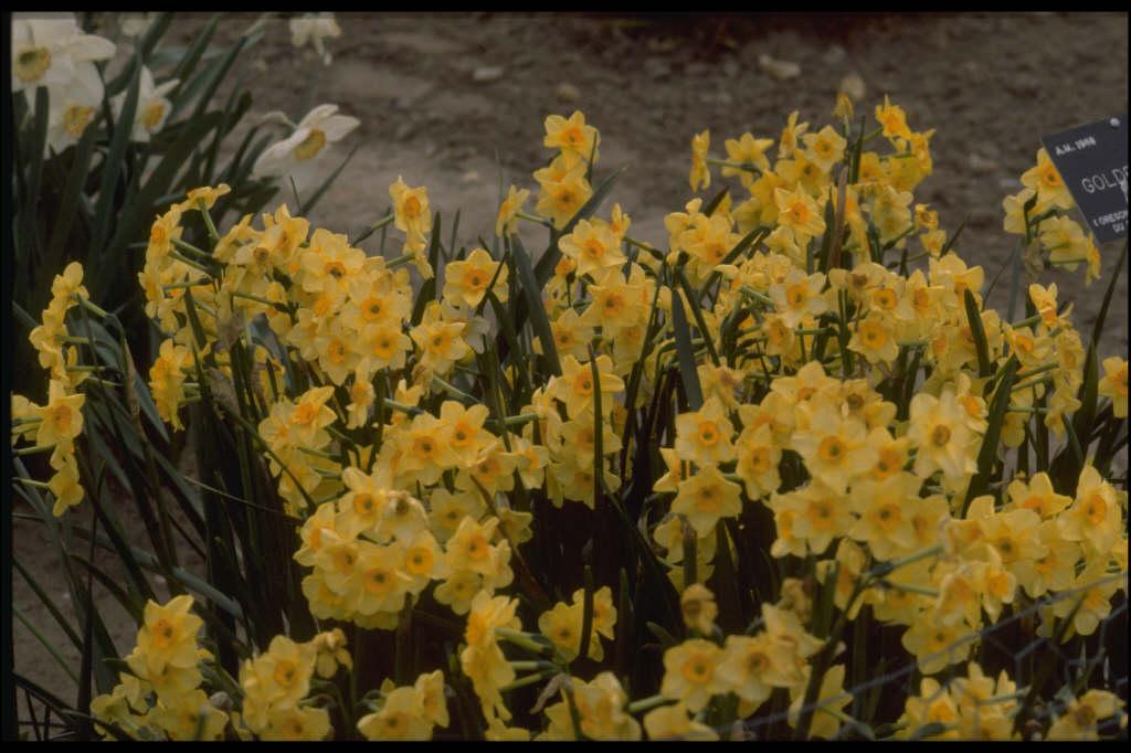 daffodil 'Golden Dawn'
