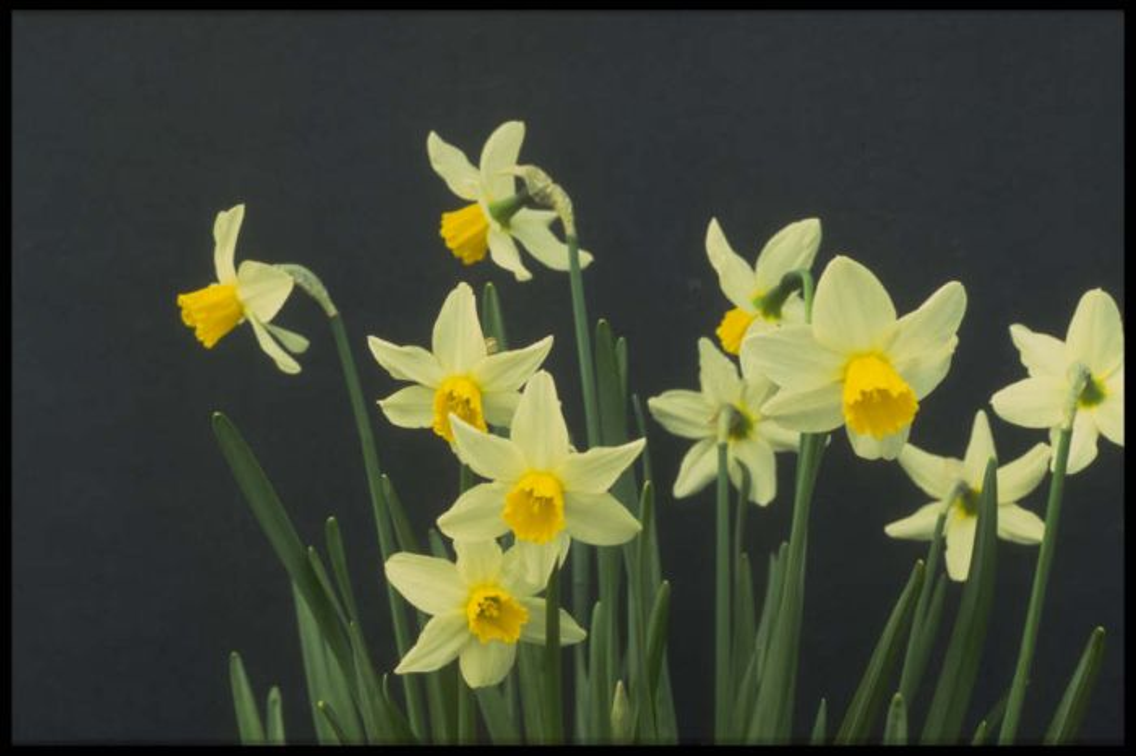 daffodil 'Jack Snipe'