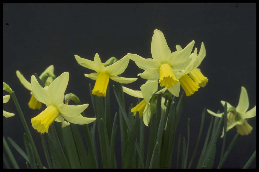 daffodil 'Jenny'