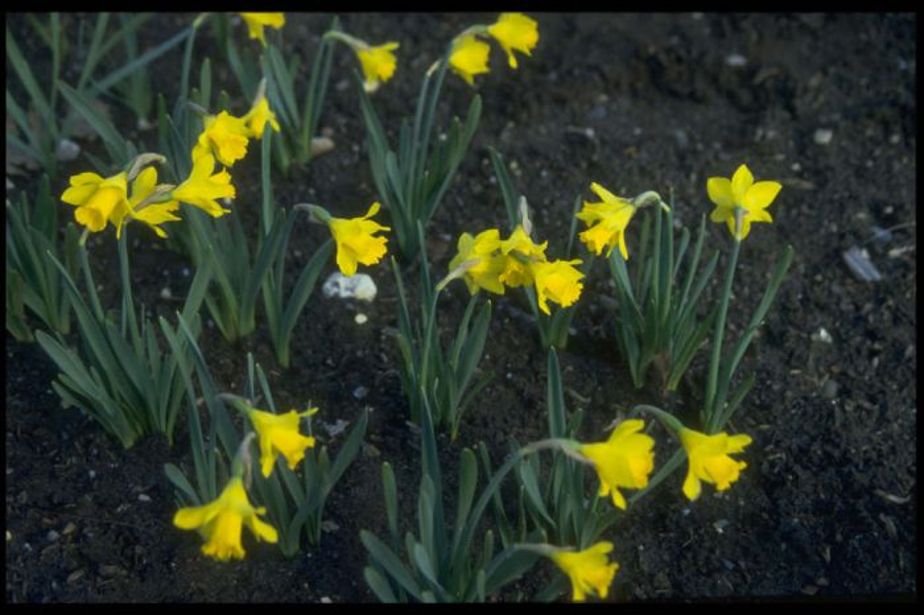 daffodil 'Little Gem'