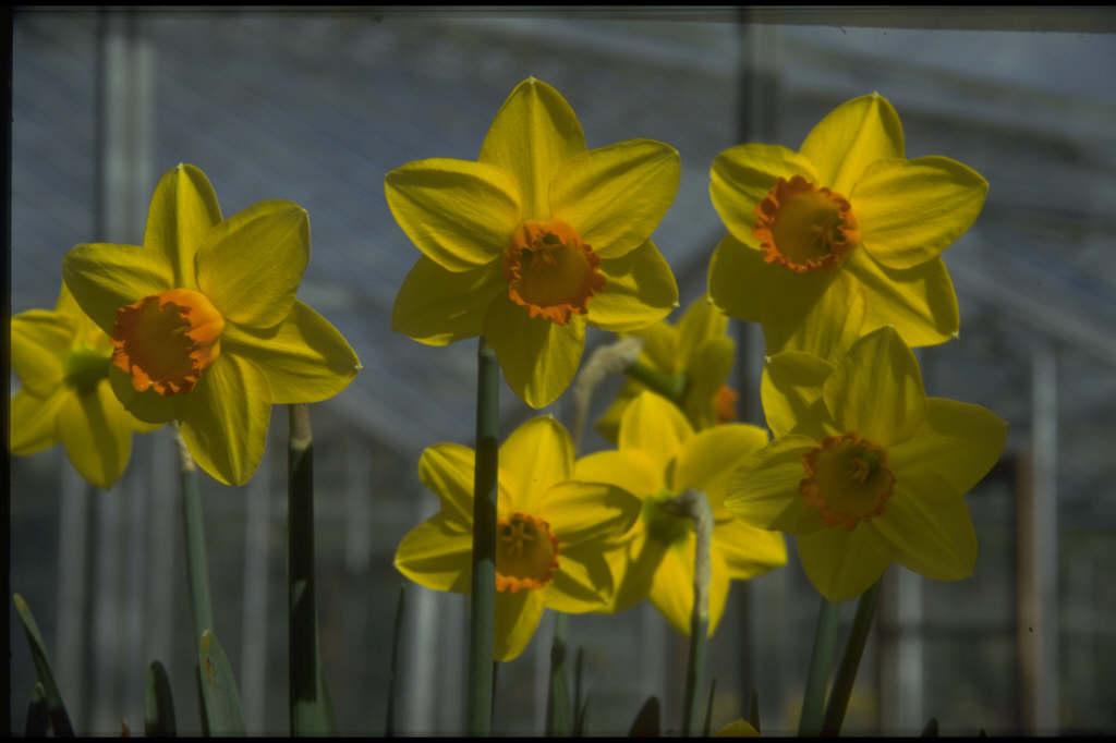 daffodil 'Pinza'