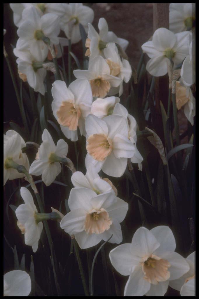 daffodil 'Romance'