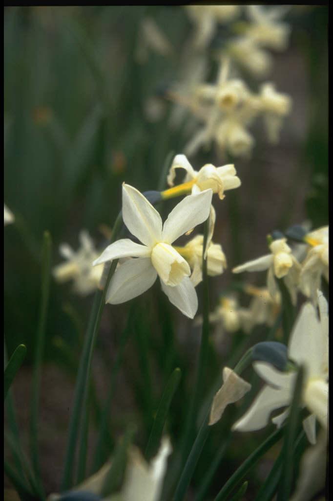 daffodil 'Toto'