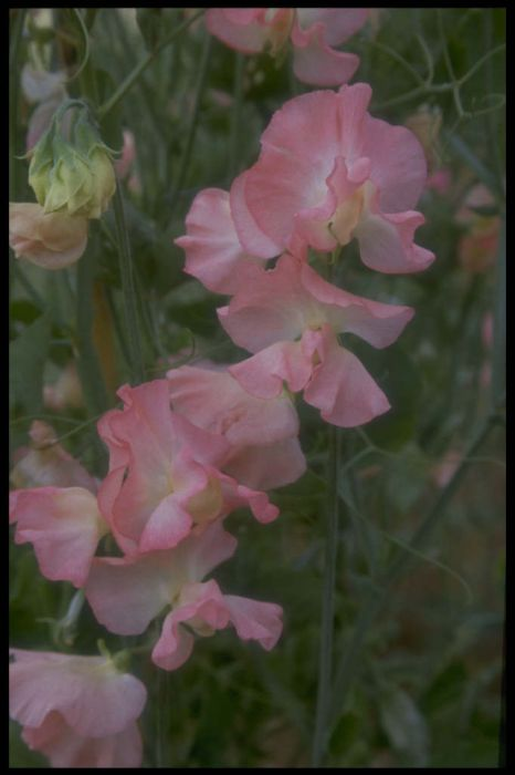 sweet pea 'Evening Glow'