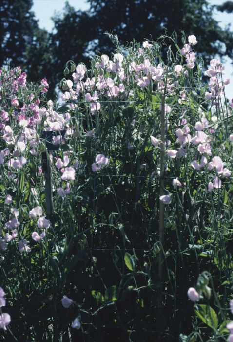 sweet pea 'Janet Scott'