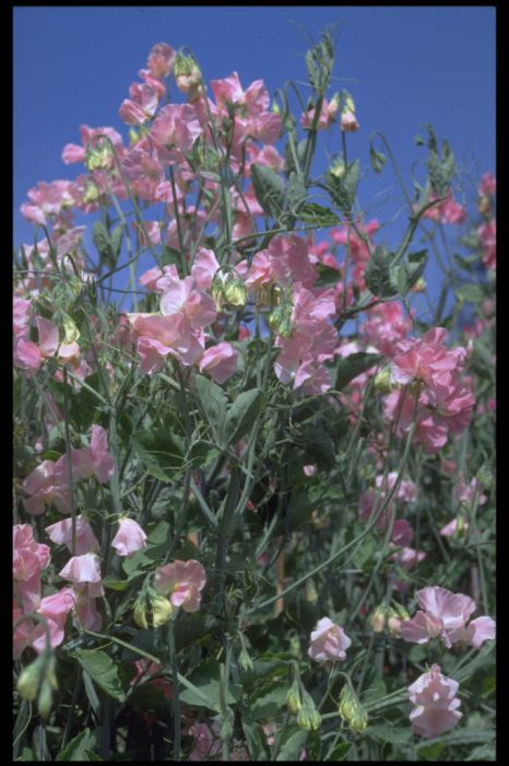 sweet pea 'Royal Flush'