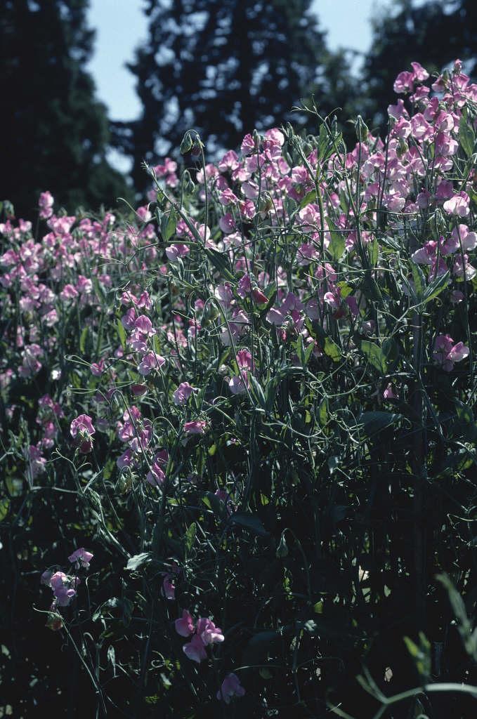 sweet pea 'Sicilian Pink'