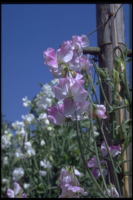 sweet pea 'Toby Robinson'