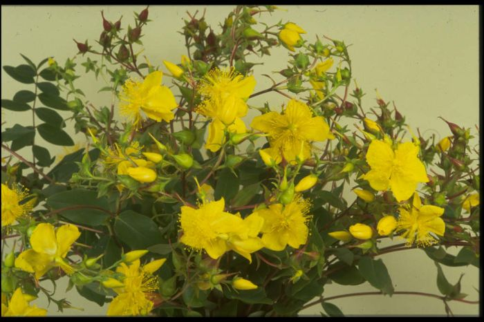 large-flowered St John's wort