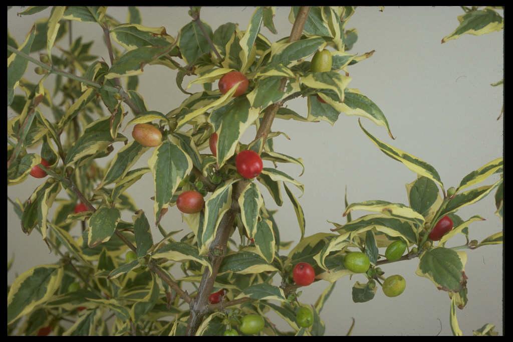 cornelian cherry 'Variegata'